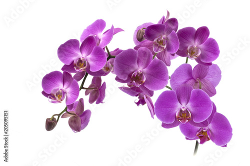 Fototapeta orchid flowers on a white background.