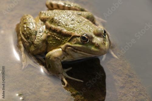 Plexiglas Kikker Большая зелёная жаба сидит в воде