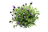 top view of spanish lavender on white isolated background
