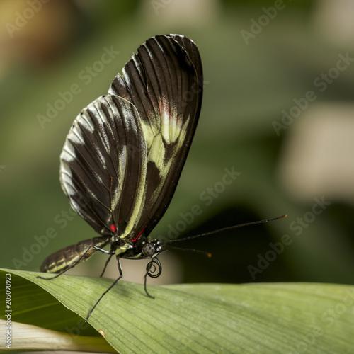 Plexiglas Vlinder Closeup of a Piano Key butterfly ,heliconius melpomene , perching a green leaf.