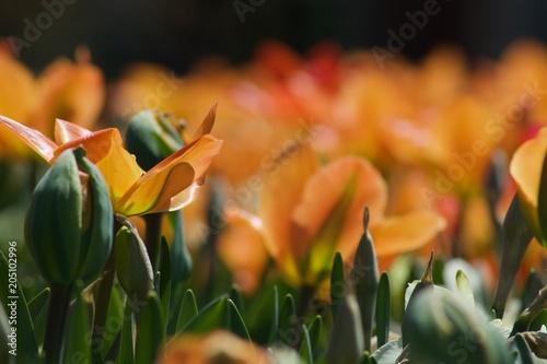Beautiful orange tulip with green leaves