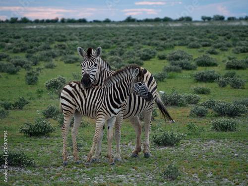 Fototapeta Mother and Child Zebra
