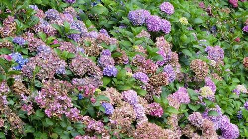 Plexiglas Hydrangea Hortensie, Bauernhortensie