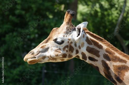 Fototapeta Giraffe im Zoo