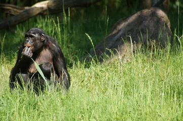 Bonobo auf einer Wiese
