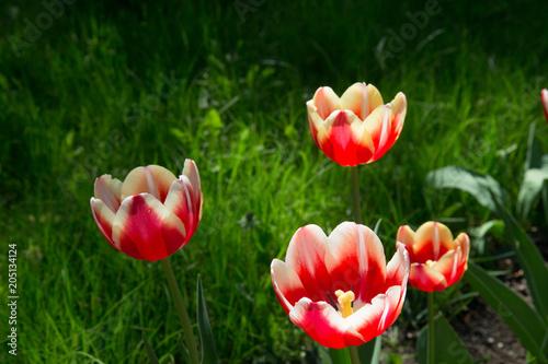 Plexiglas Moskou Beautiful red tulips in Gorky Park