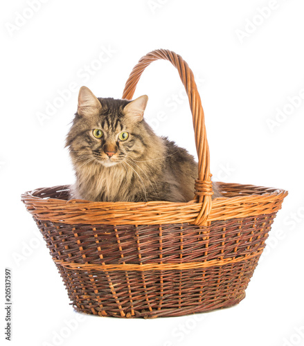 Fotobehang Kat Big cat norvegian, feline with long hair, in basket