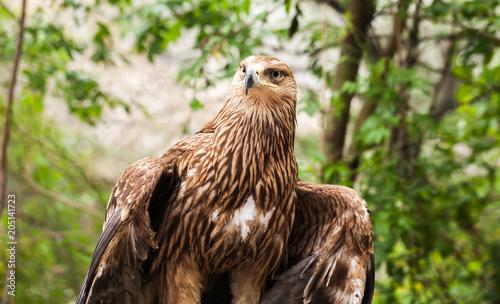 Canvas Eagle Golden eagle Aquila chrysaetos sitting