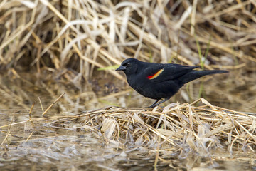 Red-winged blackbird on clump of grass.