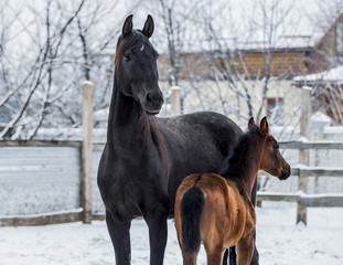 Beautiful black mare with foal posing in winter against a background of snow