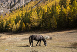Horse grazing on the lawn in the Altai Mountains, Russia.