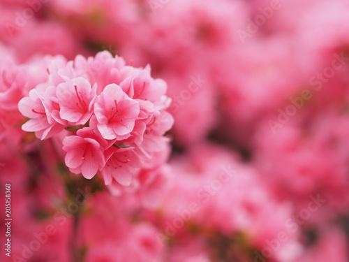 Plexiglas Candy roze 満開に咲くピンク色のツツジ