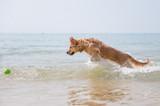 Golden retriever playing on the beach
