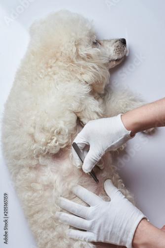 Fototapeta Medical vet inspection of dog