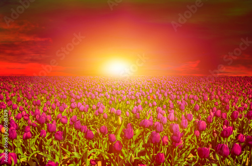 Fotobehang Rood Tulip field at sunset