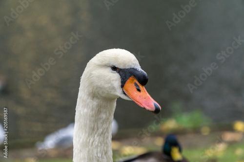 Plexiglas Zwaan Swan