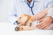 Closeup shot of veterinarian hands checking dog by stethoscope