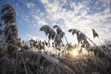 dry reeds under the snow, sky, clouds