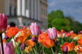 Fototapeta Tulips - Kwitnące kolorowo tulipany, z bliska, w parku przy pałacu królewskim w oslo, stolicy Norwegii, budynek pałacu w tle, rozmyty, oraz zieleń parkowa © Wioletta