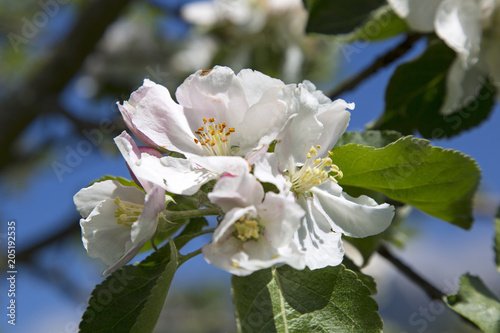 Plakat Apple Tree - Blossom - Flowering - Detail