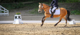 Pony with rider in the dressage course, in the uphill phase galloping.