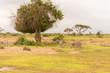 Zebra grazing in the savannah of Amboseli Park