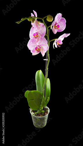 Foto Murales Pink orchid, phalaenopsis with large, striped flowers. Isolated