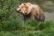 Leinwanddruck Bild - Braunbär geht Schwimmen