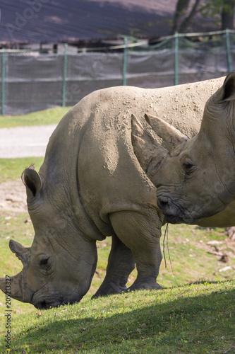 Fotobehang Neushoorn white rhino in a zoo in Italy