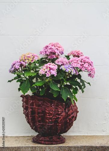 Plexiglas Hydrangea Beautiful blooming Hydrangea flower in a pot in front of a white wall