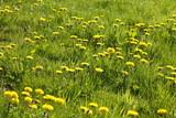 Blumenwiese mit gelben Löwenzahnblumen,