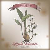 Cardamom aka Elettaria cardamomum hand drawn color sketch. - 205227955
