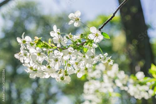 Fototapeta close up of cherry in bloom