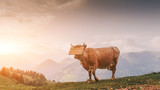 Cow in the mountains. Sunset. Atmospheric photo
