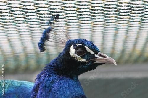 Plexiglas Pauw Angry Peacock