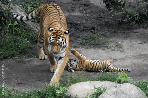 Obraz na płótnie Sibirischer Tiger, Amurtiger (Panthera tigris altaica), Tigerin mit Jungen, Captive, Deutschland, Europa