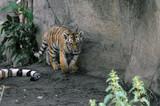 Sibirischer Tiger, Amurtiger (Panthera tigris altaica), Jungtier, Captive, Deutschland, Europa