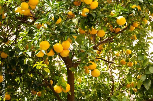 Viele Orangen hängen am Baum