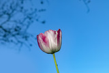 red tulip under clear blue sky - 205246391