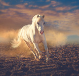 White pony runs on the sand in the dust on the sunset clouds background