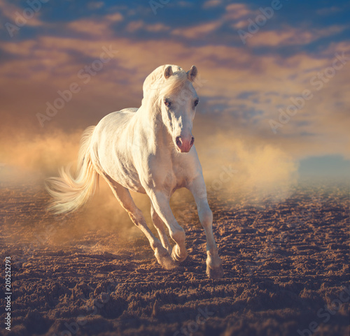 Fototapeta White pony runs on the sand in the dust on the sunset clouds background