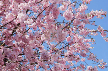 Frühling, kirschblüte, blaue himmel