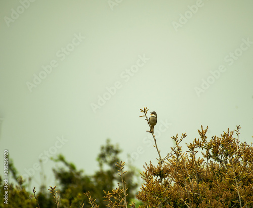 Plexiglas Natuur Image shows a common whitethroat (Sylvia communis) singing on a bush.