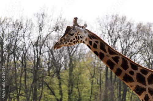 Fototapeta The giraffe walks around the catwalk outside on a sunny day.