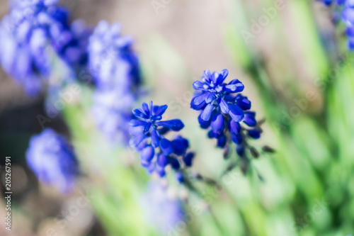 Aluminium Lavendel Blue flower bell in the garden at dacha close-up on a sunny bright day