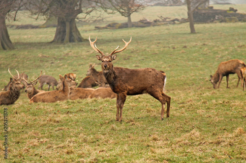Aluminium Hert A Stag Sika Deer with a Herd of Other Animals.