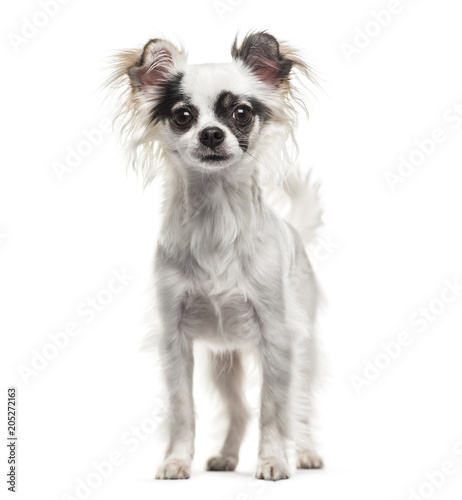Chihuahua dog , 2 years old, standing against white background