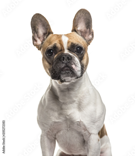 French Bulldog , 3 years old, sitting against white background