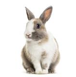 Rabbit , 4 months old, sitting against white background - 205272967