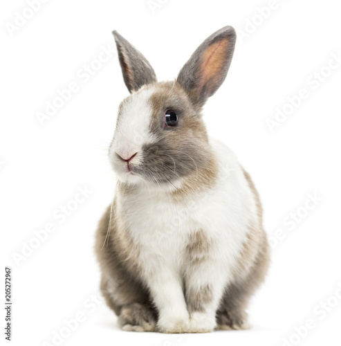 Rabbit , 4 months old, sitting against white background - 205272967